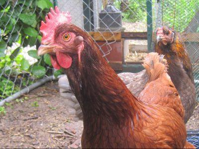 backyard chicken laws