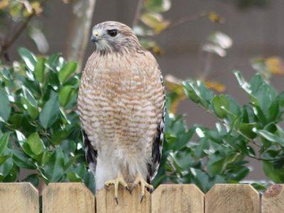 hawks chicken predators