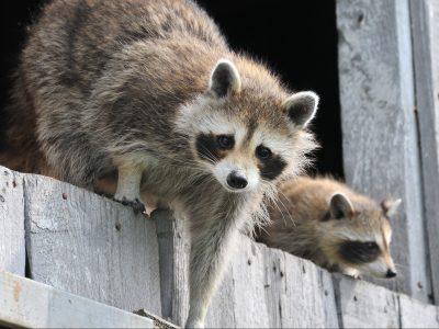 raccoons chicken predators