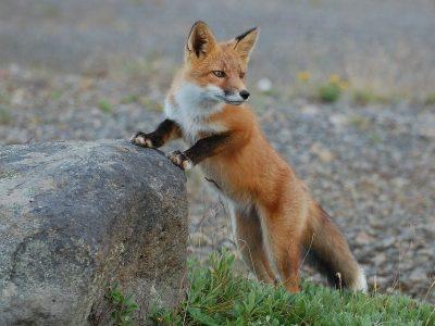 fox chicken predators
