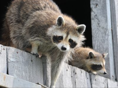 raccoons chicken predators